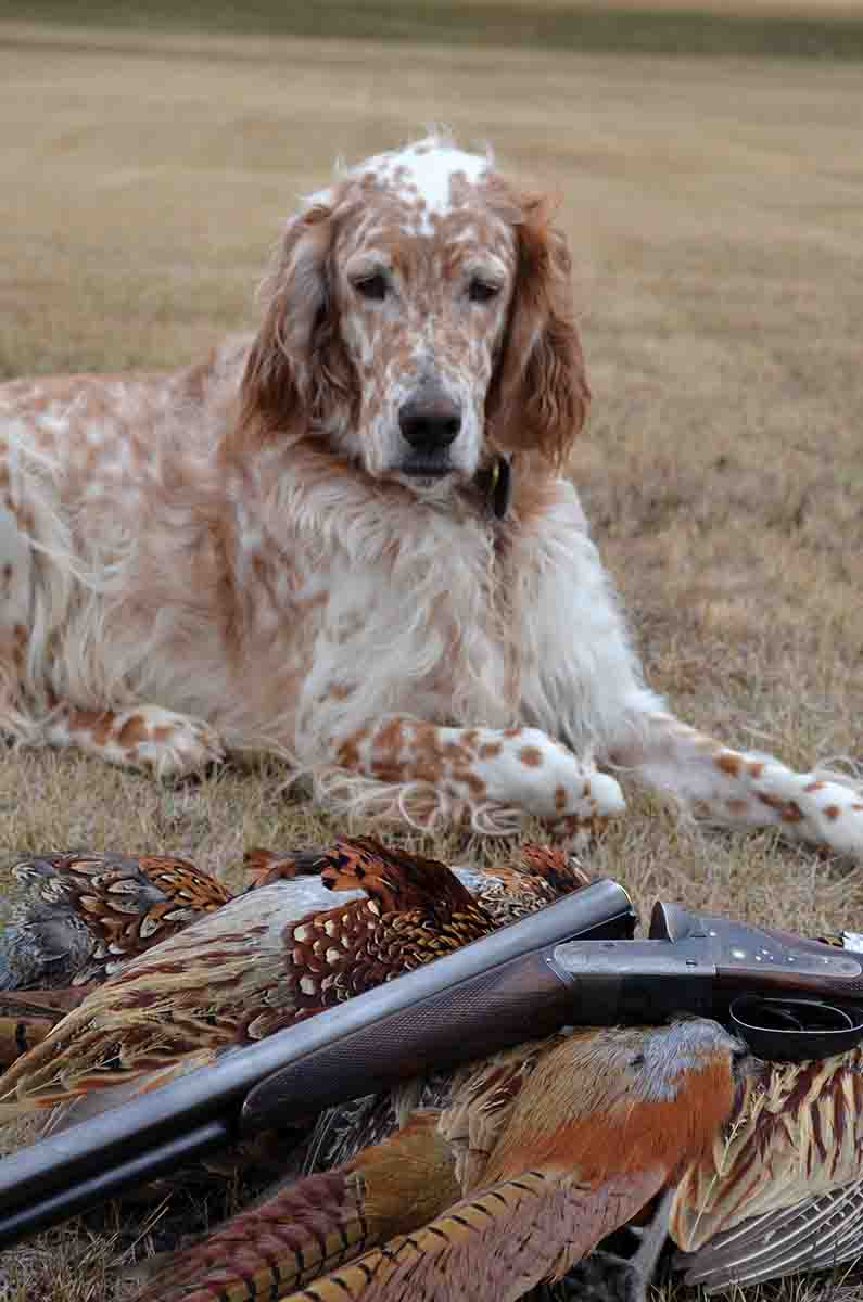 Leon, a handsome and talented English setter, admired its work. The shotgun is a Charles Lancaster, vintage 1907.